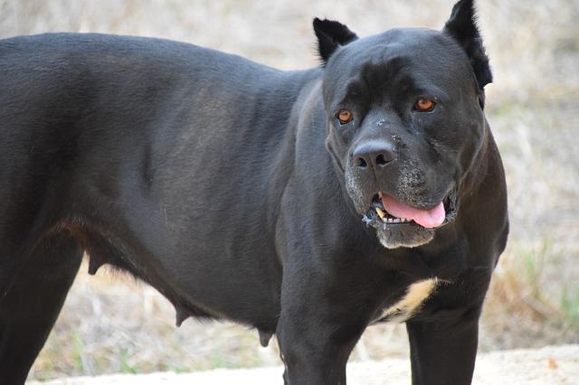 bojový pes